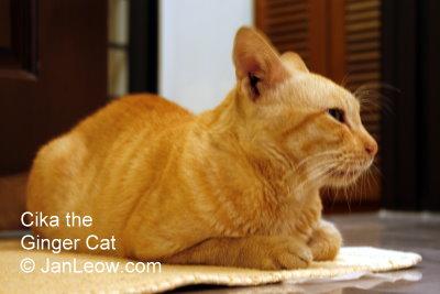 Cika the ginger cat